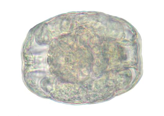 Bdelloidea