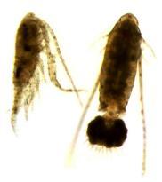 Copidodiaptomus numidicus