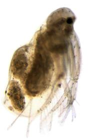 Diaphanosoma mongolianum