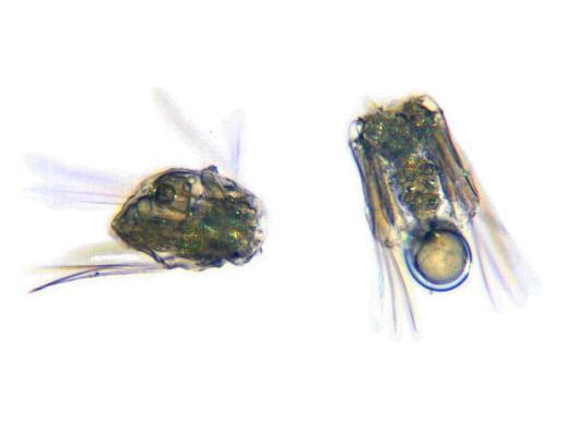 Polyarthra dolichoptera